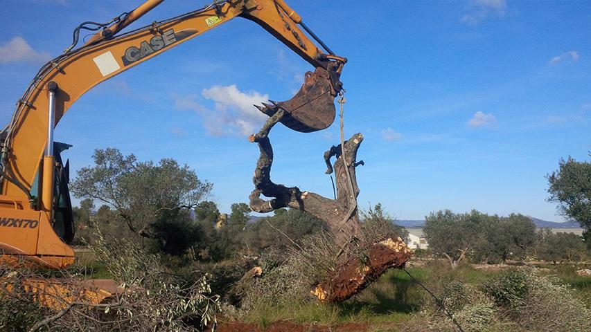 Olivier centenaire 63 la rochelle 650 for Taille olivier en nuage