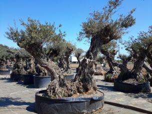 acheter vente olivier d 39 ornement centenaire oliviers aux vieux troncs oliviers breizh. Black Bedroom Furniture Sets. Home Design Ideas