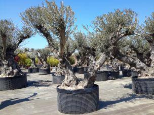 Acheter vente olivier d 39 ornement centenaire oliviers aux vieux troncs - Acheter olivier centenaire ...