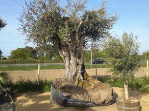 vente nos oliviers mill naire des oliviers exceptionnels oliviers breizh p pini re en ligne. Black Bedroom Furniture Sets. Home Design Ideas
