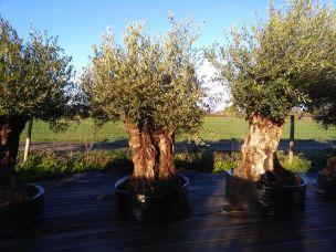 gros oliviers lyon